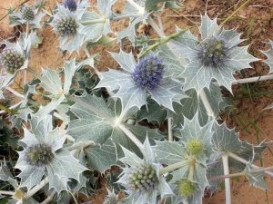 Sea Holly, Old Hunstanton © Mari French 2011