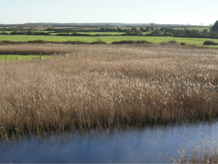 Reed_beds_Burnham_Overy_marsh.JPG