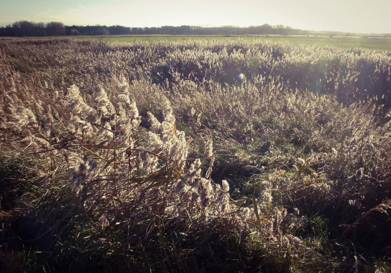 Reedbeds, Thornham, November. Mari French 2015