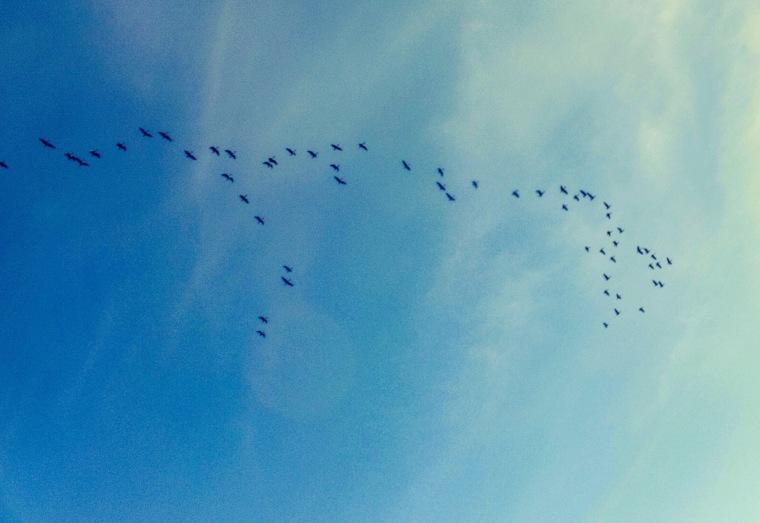 Brent geese, Norfolk coast