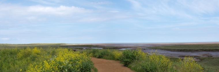 Thornham salt marsh with yellow rape. © Mari French 2016