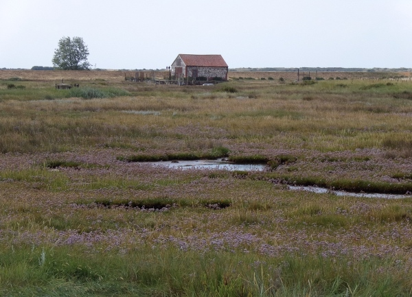 Sea lavender and coal barn, Thornham Saltmarsh. © Mari French 2016