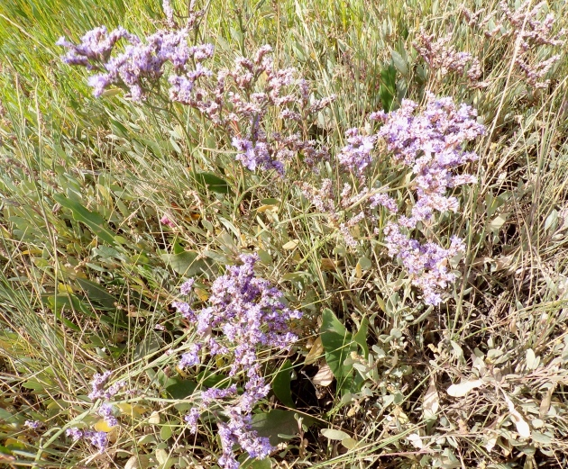 Sea lavender, Thornham.