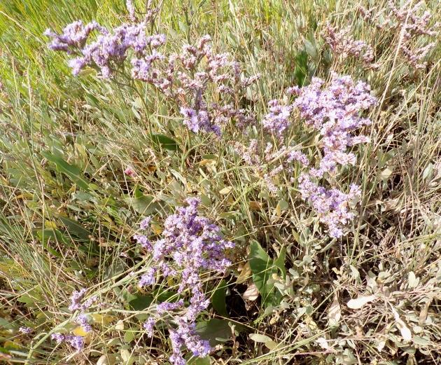 Sea lavender, Thornham.