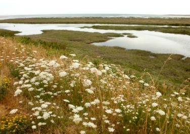 Wild carrot, Thornham salt marsh. © Mari French 2018